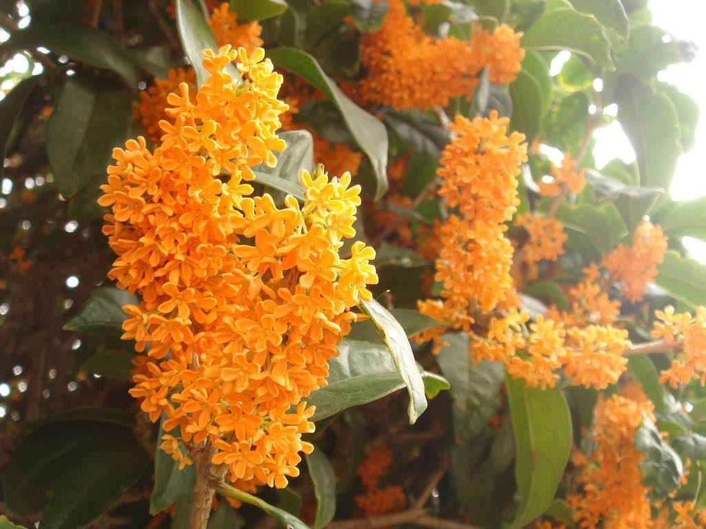 秋天居然是賞花季節?初戀之花「金木犀」