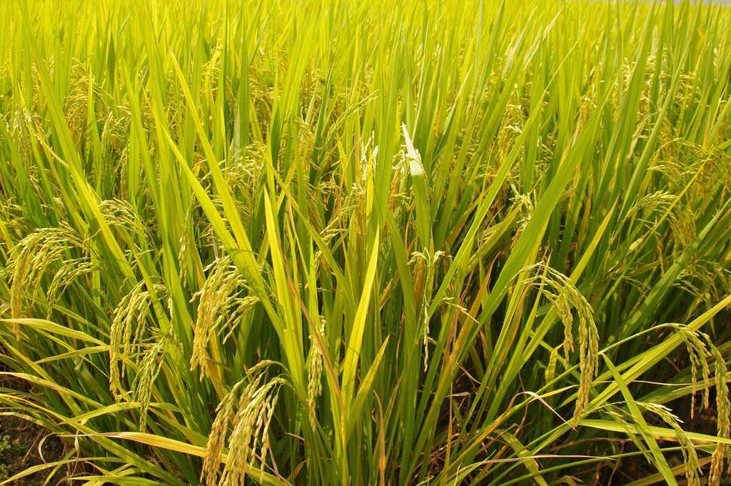為了這個神嘗祭,日本最重要的神宮還得自己種稻米!
