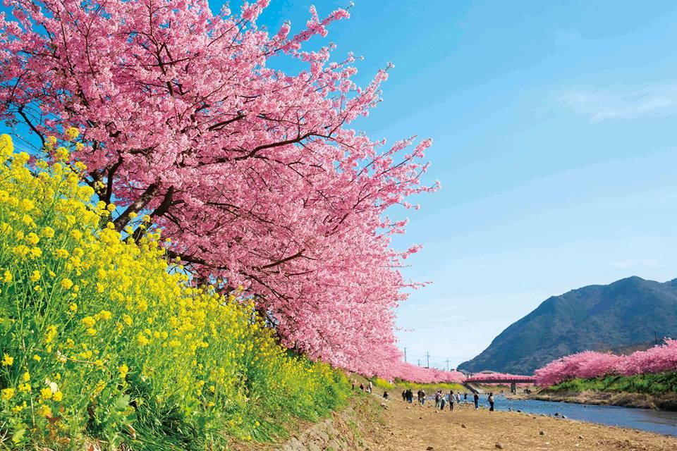 日本本土最早的櫻花祭:伊豆河津櫻二月登場
