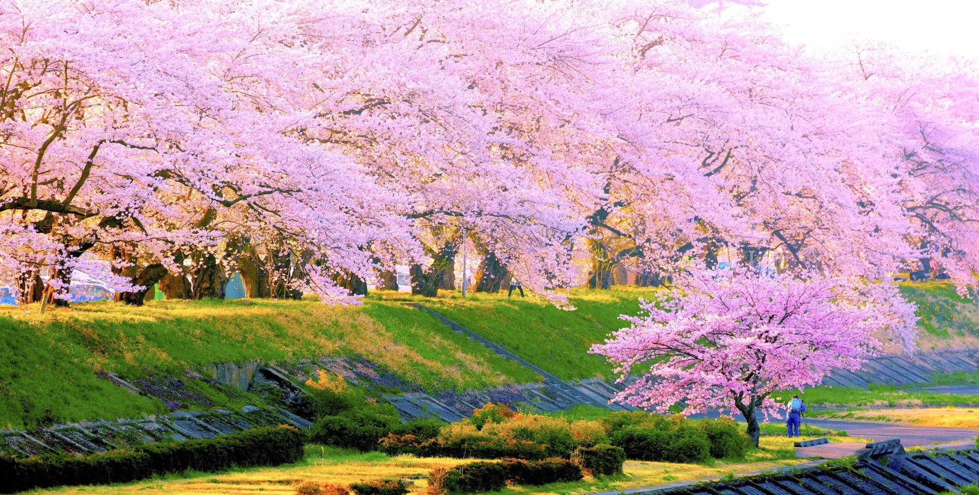 日本賞櫻該帶什麼?怎樣才能佔到好位置?賞櫻花內行撇步總整理