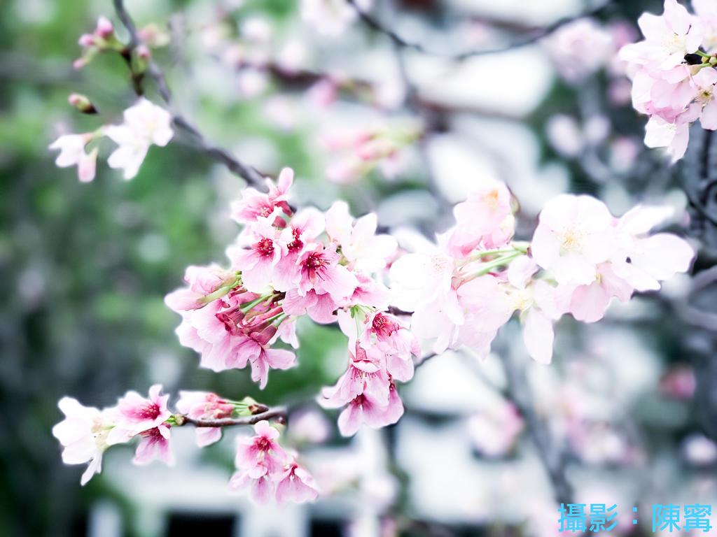 手機也能拍美照(4)免出國拍出假裝去日本玩的「日系櫻花照」